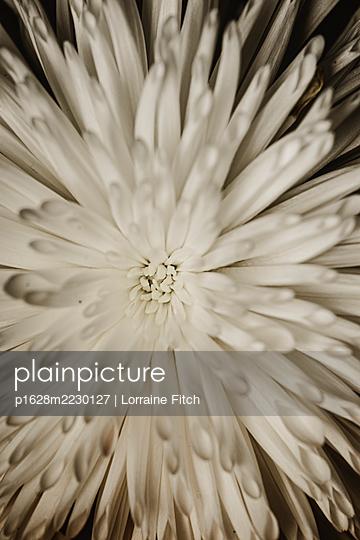 White flower - p1628m2230127 by Lorraine Fitch