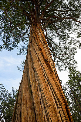 Low angle view of tree trunk at Angeles National Forest - p1166m1486117 by Cavan Images