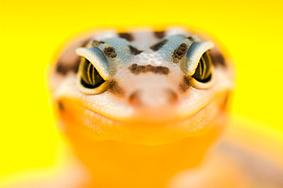 Baby Leopard Gecko - p4427497f by Design Pics