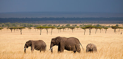 Three African Elephants (Loxodonta) walking in Kenya's Masai Mara. - p343m989337f by Grant Ordelheide