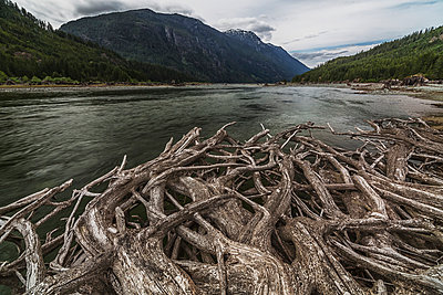 Roots from an old stump along the shores of Buttle Lake, Strathcona Provincial Park; British Columbia, Canada - p442m976574f by Robert Postma