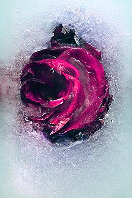 Frozen Rose - p450m2187043 by Hanka Steidle