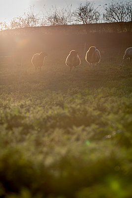 Schafe im Herbst - p718m1087332 von Arne Landwehr