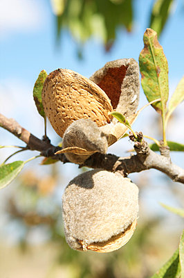 Ripe almonds - p8850004 by Oliver Brenneisen