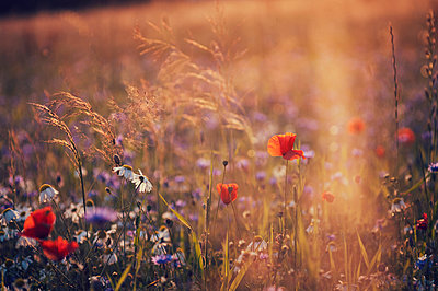 Blumenwiese im Abendlicht - p992m1045250 von Carmen Spitznagel