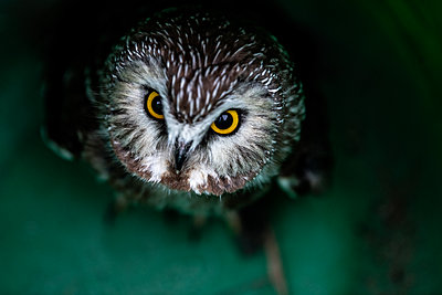 The Northern Saw Whet Owl - p1086m2004828 by Carrie Marie Burr