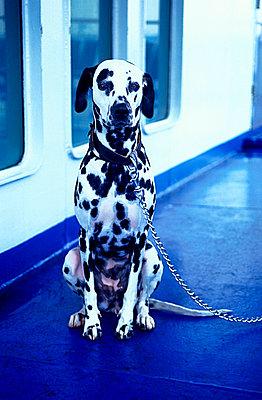 Greece, Peloponnes, dog on ferry - p2686778 by Katarzyna Zommer