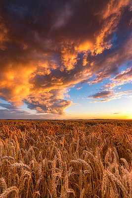 United Kingdom, East Lothian, wheat field at sunset - p300m2081474 by Scott Masterton