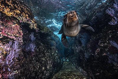 Sea lions playing close to rocks - p924m2068377 by Rodrigo Friscione