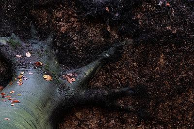 Wurzel der Buche - p1212m1572594 von harry + lidy