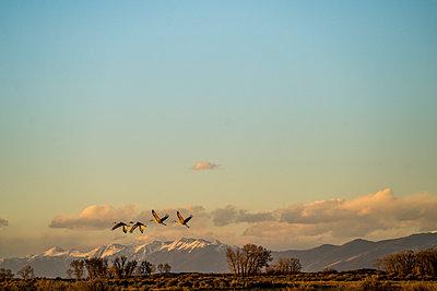 Sandhill Cranes Take Flight - p343m1203865 by Matthew DeLorme