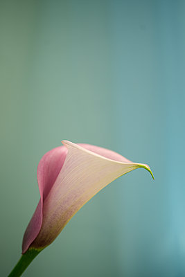 Calla close-up - p427m2157670 by Ralf Mohr