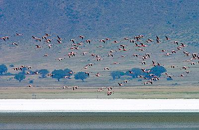 Lesser Flamingo - p871m838743 by Tim Graham