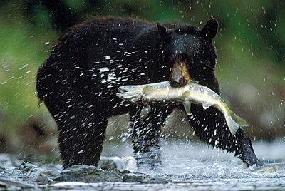 Black Bear catching a salmon - p884m862538 by Tim Fitzharris