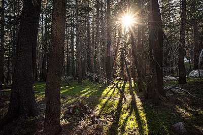 Sun coming through forest trees in California - p1166m2152143 by Cavan Images