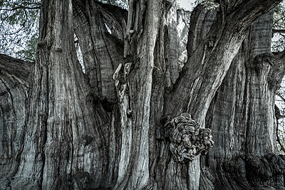 Giant tree - p1170m1584927 by Bjanka Kadic