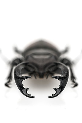 Claws of Stag Beetle - p1280m2205546 by Dave Wall