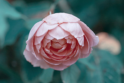 Rose in garden - p1470m1539153 by julie davenport