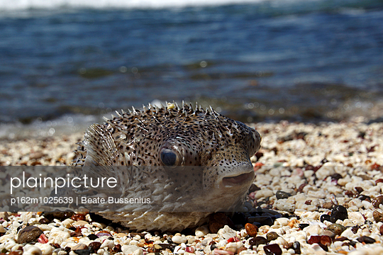 Blowfish - p162m1025639 by Beate Bussenius