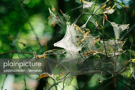 Netze von Larven der Gespintsmotte an einem Baum in öffentlichem Park - Berlin, Deutschland - p300m2286891 von Mimafoto