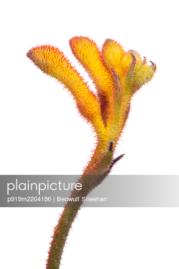 yellow, red, and green kangaroo paw flower/plant/fern against white background - p919m2204186 by Beowulf Sheehan