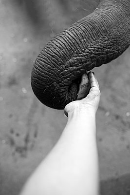 Elephant trunk - p1308m1143584 by felice douglas