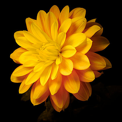 Dahlia blossom in yellow colours - p587m2115433 by Spitta + Hellwig