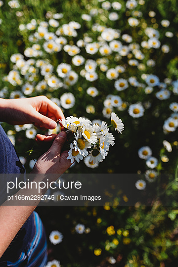 Child's hands holding bunch of daisies in a field of flowers. - p1166m2292745 by Cavan Images
