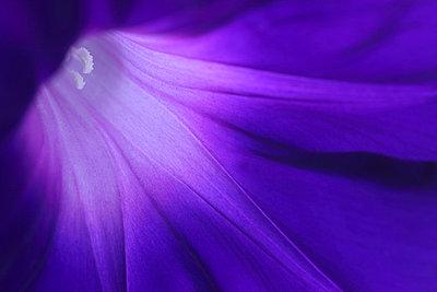 Morning glory - p307m756216f by Tetsuya Tanooka