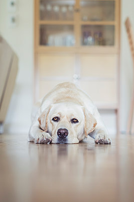 Germany, Tired dog lying on floor - p352m1061859f by Andreas Ulvdell