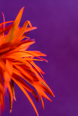 Gerbera, Orange coloured petals - p427m2098827 by Ralf Mohr