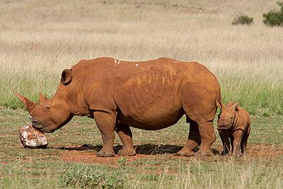 White Rhinoceros mother licking salt with calf - p884m864128 by Matthias Breiter
