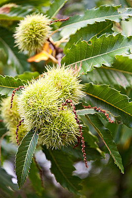 Sweet chestnut - p1205m1106473 by Toni Anzenberger & Christina Anzenberger-Fink
