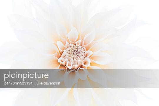 Dahlia Cafe au Lait - Macro Portrait - p1470m1539194 by julie davenport