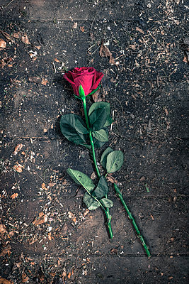 red rose on a dirty wooden floor - p1228m1332845 by Benjamin Harte