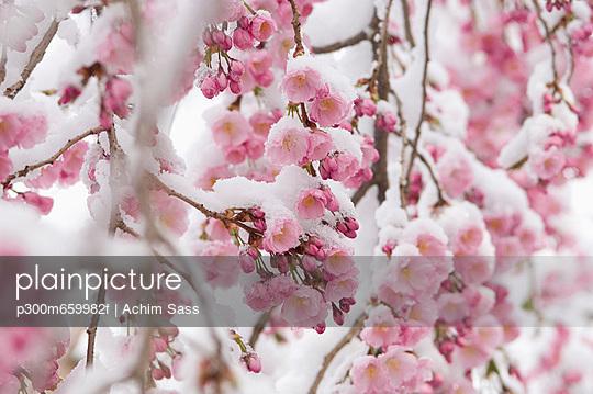 Snow covered cherry blossom - p300m659982f by Achim Sass