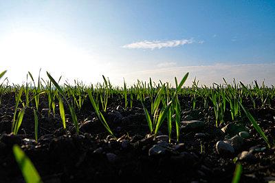 Weizenfeld im Frühling - p8760045 von ganguin