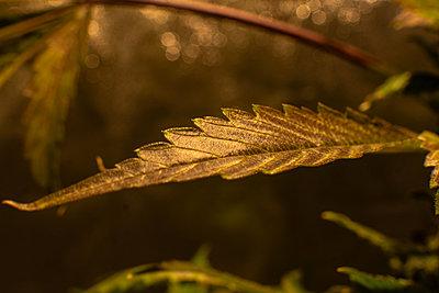 Growing medical marijuana indoor in camera shifting  effect. Big - p1166m2147503 by Cavan Images