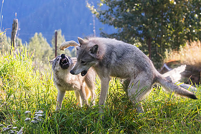 CAPTIVE: Yearling Gray wolf and younger pup play at the Alaska Wildlife Conservation Center, Southcentral Alaska, USA - p442m1217821 by Doug Lindstrand