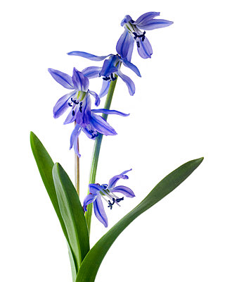 Siberian Squill, Scilla siberica, against White Background - p694m2068323 by Lori Adams