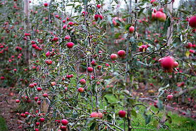 Apple trees in an organic orchard garden in autumn, red fruits ready for picking on branches of espaliered fruit trees.  - p1100m2085058 by Mint Images