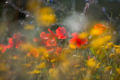 Corn poppies abloom - p1437m1502370 by Achim Bunz