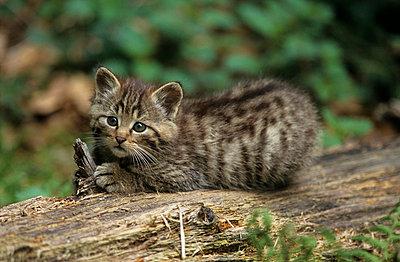 Wildkatze - p3300499 von Harald Braun