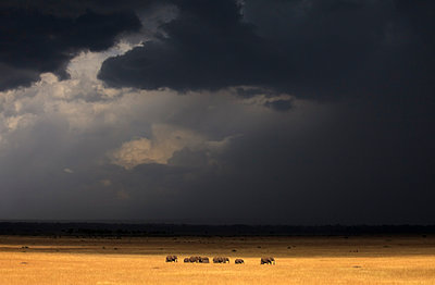 A herd of elephants (Loxodonta) under stormy skies in Kenya's Masai Mara. - p343m989335f by Grant Ordelheide