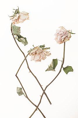 Dried roses - p971m1550363 by Reilika Landen