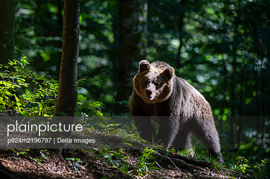 European Brown Bear, Ursus arctos in the Notranjska forest in Slovenia - p924m2196797 by Delta Images