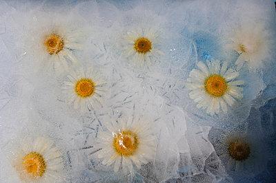 Gänseblümchen in Eis - p1412m1589953 von Svetlana Shemeleva