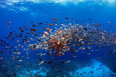 Palau, Shark City, Red snapper spawning - p300m2198671 by Gerald wak