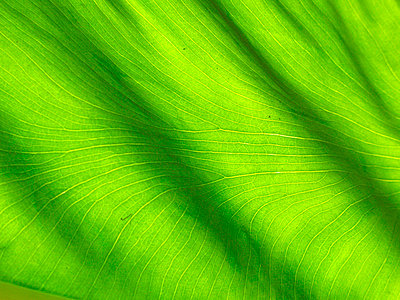 Close up of leaf, Malaysia - p4692688 by Felix Oppenheim