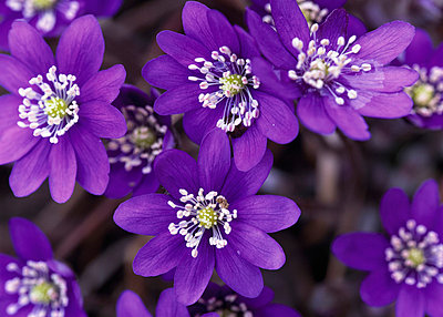 Hepatica. - p5750066 by Jens Rydell